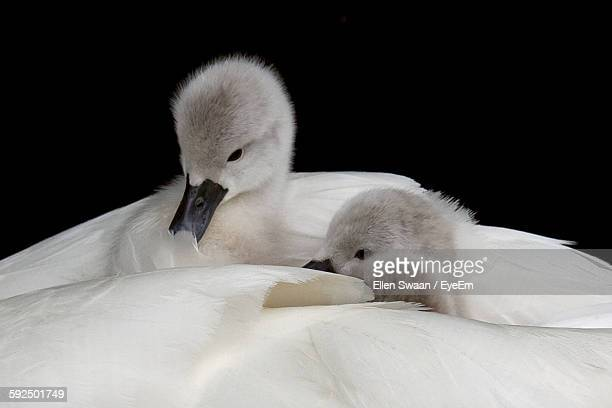 Close-Up Of Cute Cygnets Against Black Background
