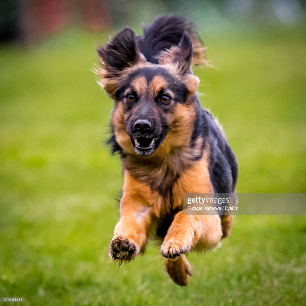 Closeup Of Cute Dog Running On Field Stock Photo Getty Images