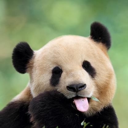 Close-up of cute panda pulling a face 184154276