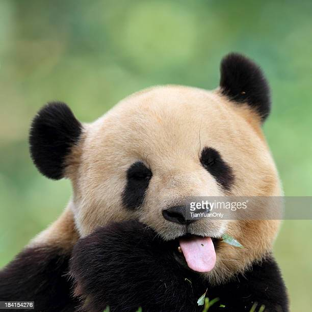 close-up of cute panda pulling a face - panda animal stock photos and pictures