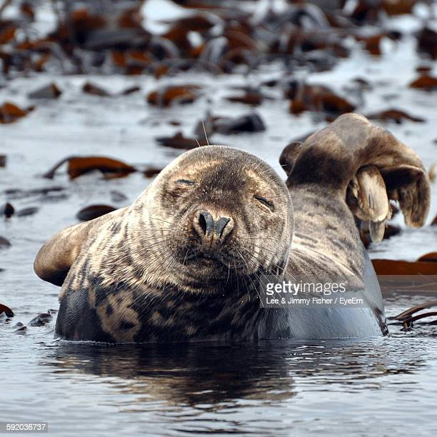 close-up of cute seal at farne islands - northumberland stock photos and pictures