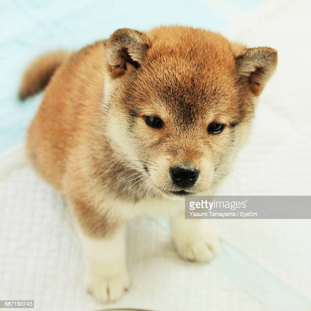 Close-Up Of Cute Shiba Inu Puppy