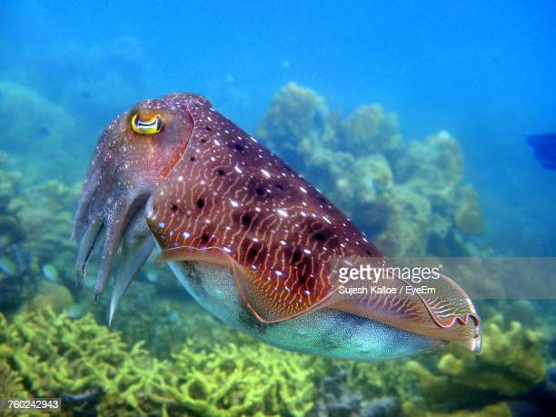 Close-Up Of Cuttlefish Swimming In Sea
