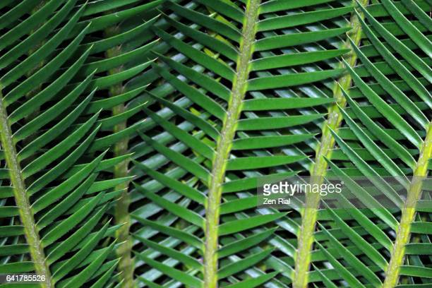 Close-up of Cycad leaves