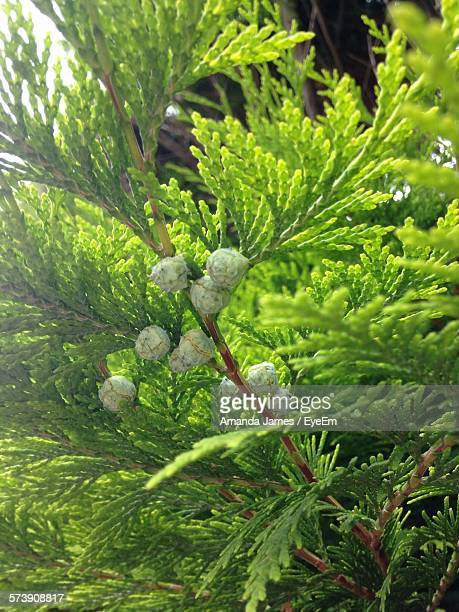 Close-Up Of Cypress Tree Branches