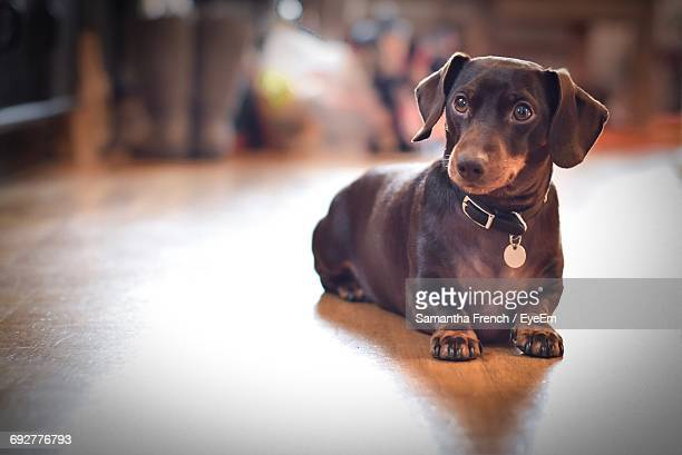 Close-Up Of Dachshund Dog