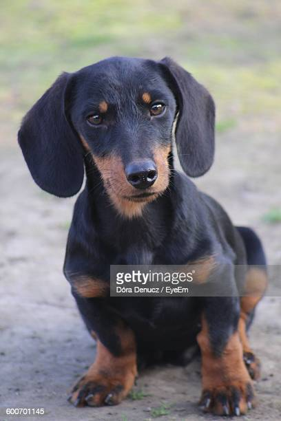 Close-Up Of Dachshund Sitting On Field