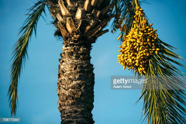 close-up of dactyls fruit on palm tree - belek stock pictures, royalty-free photos & images