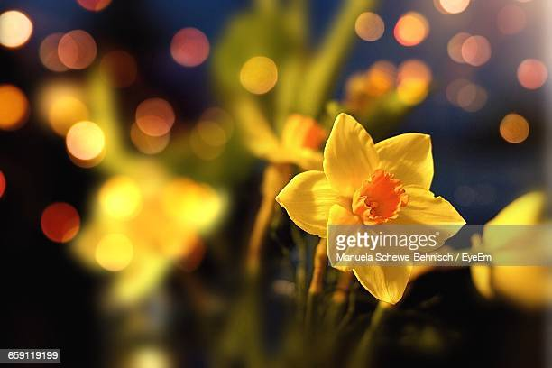 Close-Up Of Daffodils Blooming At Dusk