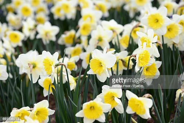 close-up of daffodils blooming outdoors - daffodils stock photos and pictures