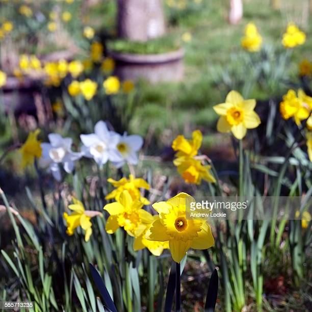 close-up of daffodils (narcissus) - classical mythology character stock photos and pictures
