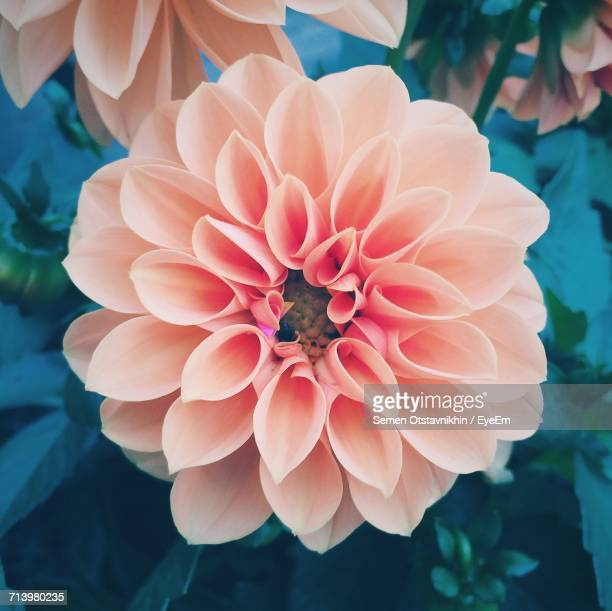 Close-Up Of Dahlia Blooming Outdoors