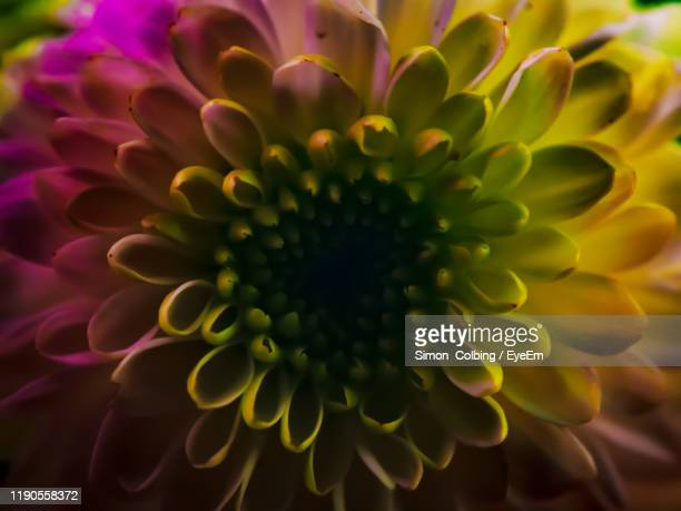 close-up of dahlia - colbing stock pictures, royalty-free photos & images
