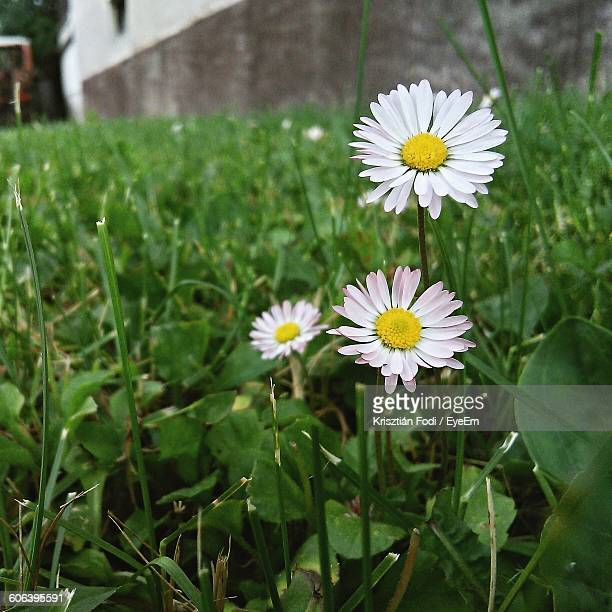 Close-Up Of Daisies Blooming In Back Yard