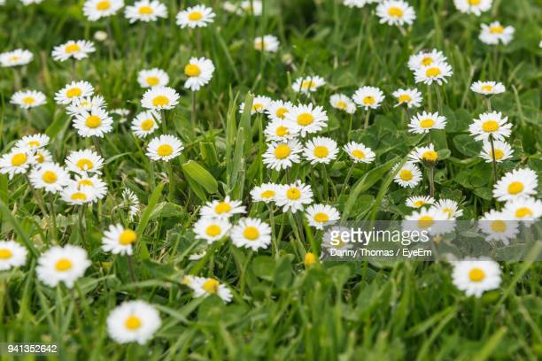 Close-Up Of Daisies Blooming In Field