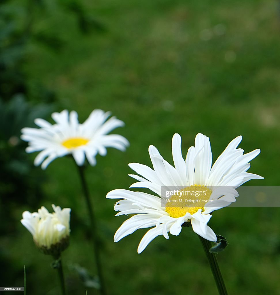 Close-Up Of Daisies Blooming In Park : Stock Photo