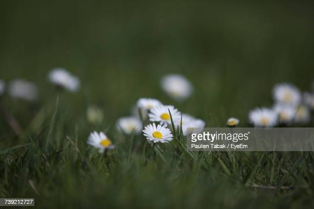 close-up of daisies blooming on field - paulien tabak stock pictures, royalty-free photos & images