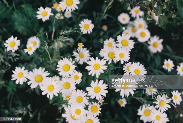 close-up of daisies on field - antonella stock photos and pictures