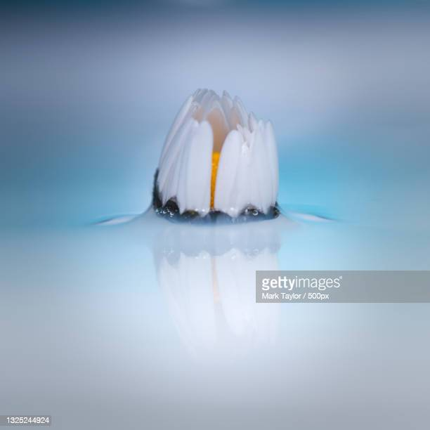 close-up of daisy emerging from water,halesowen,united kingdom,uk - appearance stock pictures, royalty-free photos & images
