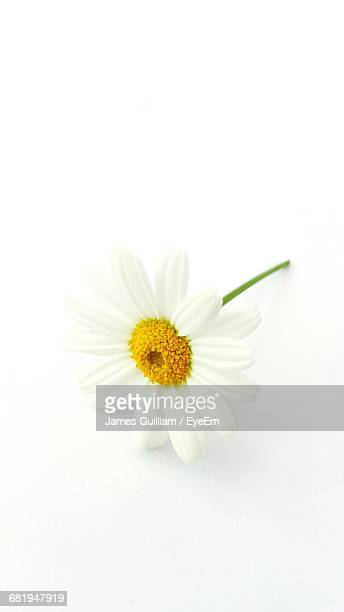 close-up of daisy flower on white background - daisy stock pictures, royalty-free photos & images