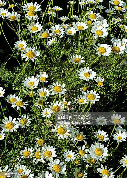 close-up of daisy flowers blooming in field - mytholmroyd stock pictures, royalty-free photos & images