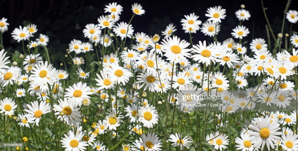 closeup of daisy flowers on field ストックフォト getty images