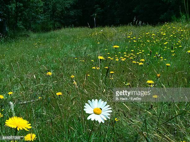 Close-Up Of Daisy Flowers On Grassy Field