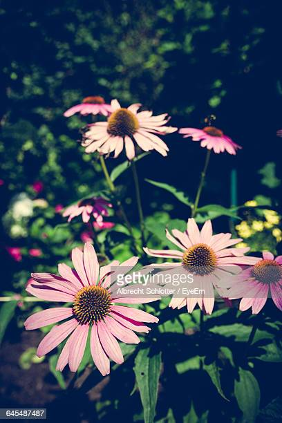 close-up of daisy flowers - albrecht schlotter stock photos and pictures