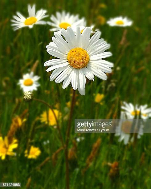close-up of daisy flowers - port talbot stock pictures, royalty-free photos & images