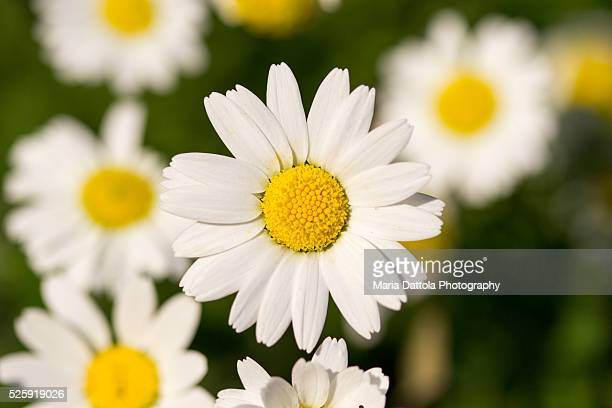 Close-up of daisy (Leucanthemum vulgare)