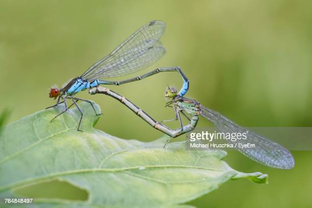 Close-Up Of Damselflies Mating On Leaf