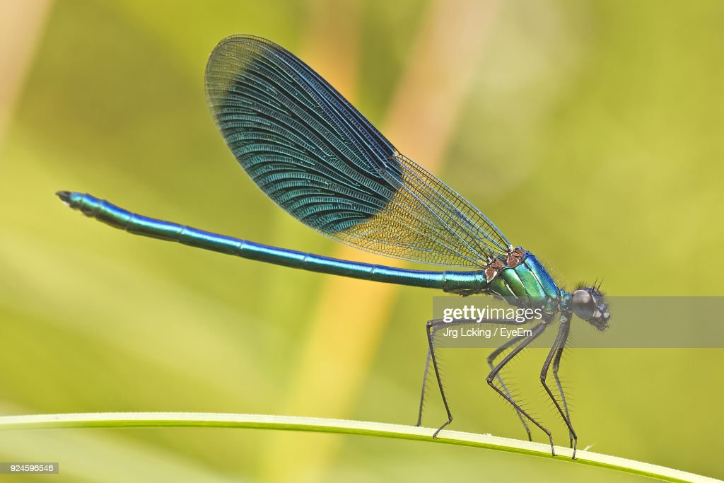 Close-Up Of Damselfly On Leaf : Stock Photo