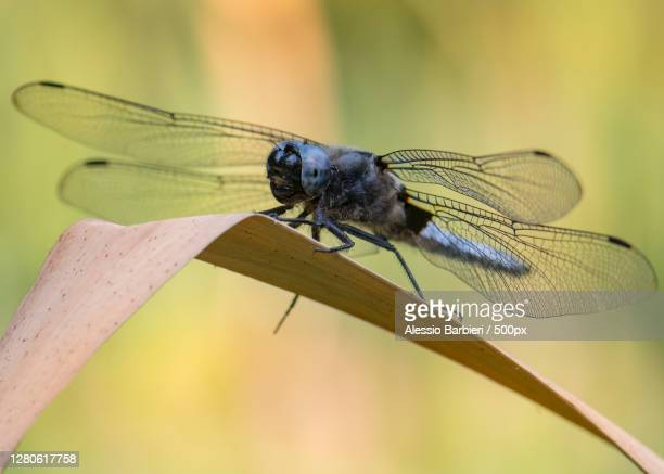close-up of damselfly on leaf,monza,province of monza and brianza,italy - monza stock pictures, royalty-free photos & images