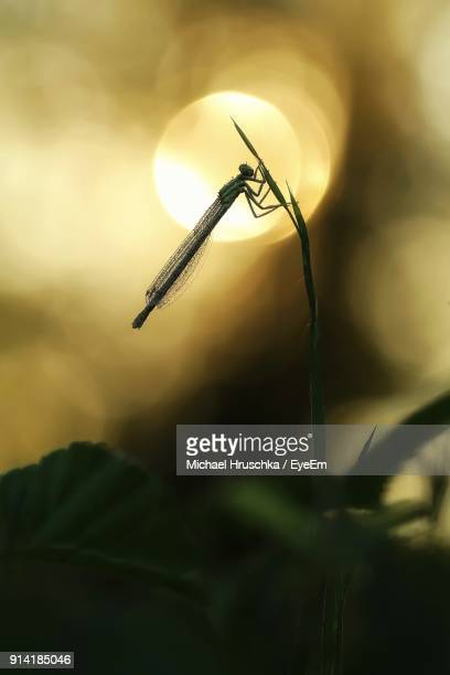 close-up of damselfly on plant during sunset - michael hruschka stock pictures, royalty-free photos & images