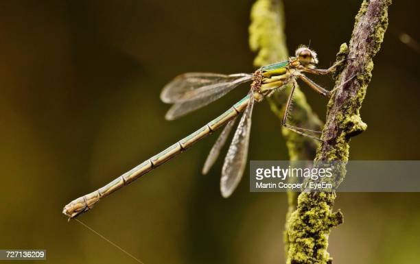 Close-Up Of Damselfly On Twig