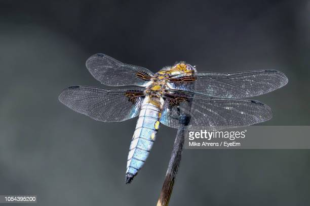 close-up of damselfly perching on plant stem - animal body part stock pictures, royalty-free photos & images
