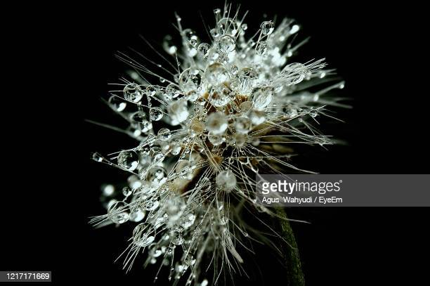 close-up of dandelion against black background - central kalimantan stock pictures, royalty-free photos & images