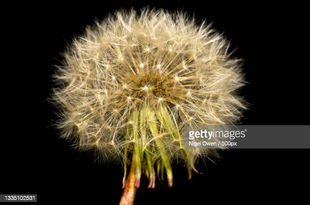 close-up of dandelion against black background - nigel owen stock pictures, royalty-free photos & images