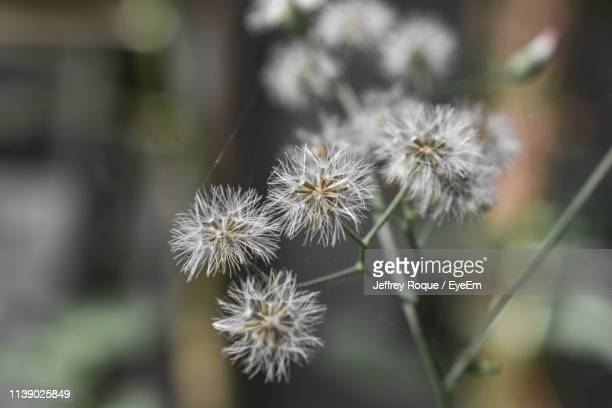 close-up of dandelion against blurred background - jeffrey roque stock photos and pictures