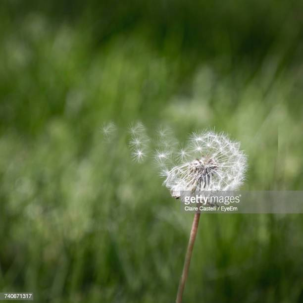 Close-Up Of Dandelion Against Blurred Background