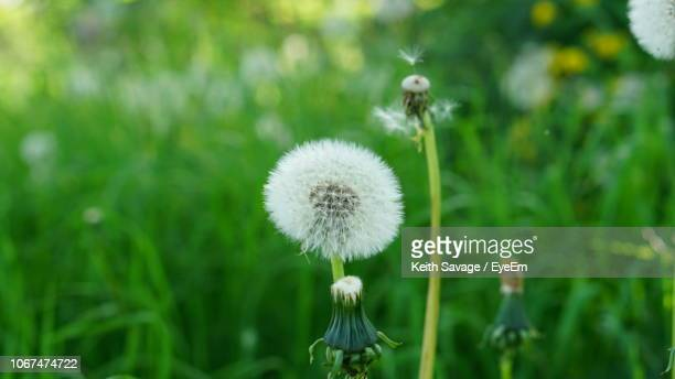 close-up of dandelion flower on field - keith savage stock-fotos und bilder