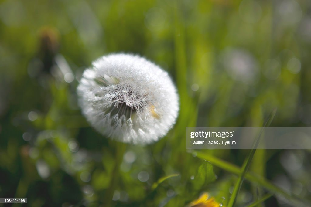 Close-Up Of Dandelion Flower : Stockfoto