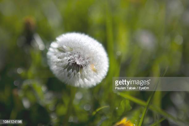 Close-Up Of Dandelion Flower