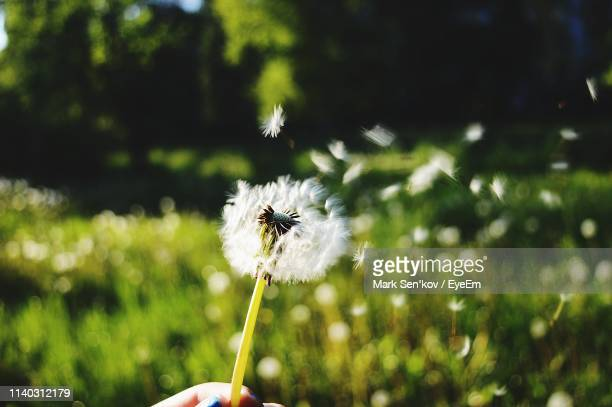 close-up of dandelion flower - mark's stock pictures, royalty-free photos & images