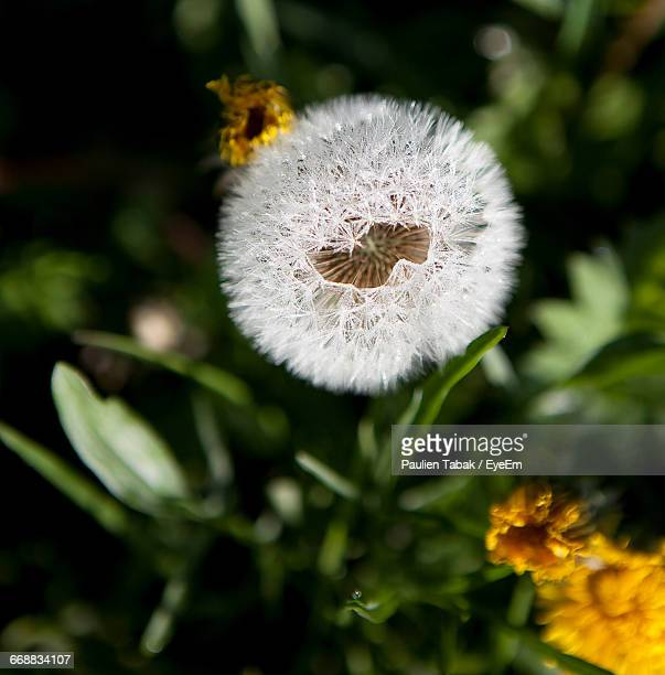 close-up of dandelion flower - paulien tabak stock pictures, royalty-free photos & images