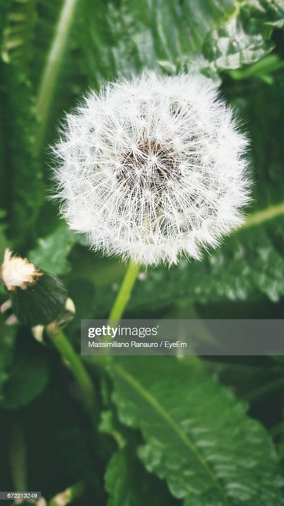 Close-Up Of Dandelion Flower : Stock Photo
