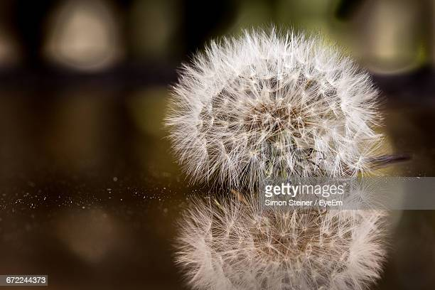 close-up of dandelion flower - bad homburg stock pictures, royalty-free photos & images