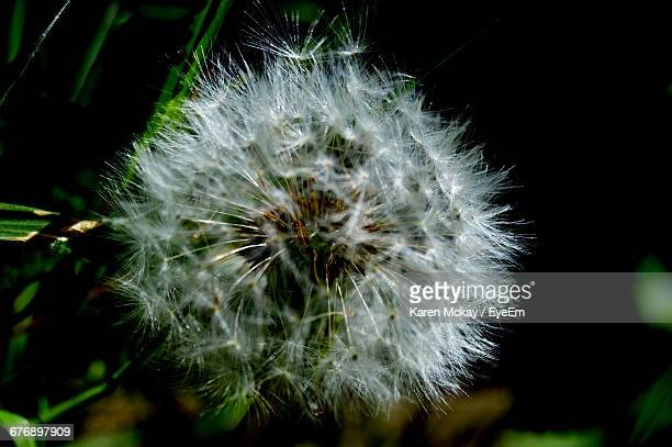 close-up of dandelion flower - karen mckay stock pictures, royalty-free photos & images