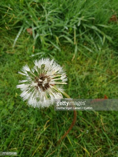 Close-Up Of Dandelion Growing In Grass