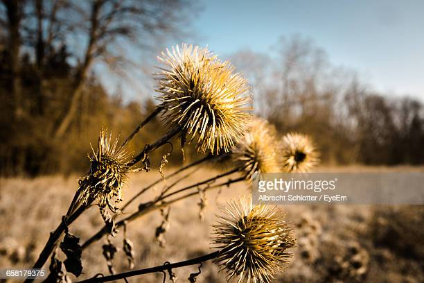 close-up of dandelion growing on field - albrecht schlotter stock photos and pictures